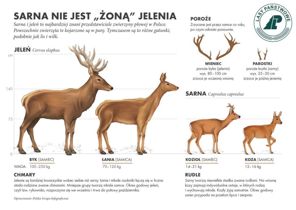Infografika Lasy PAŃSTWOWE - Jeleń czy Sarna?